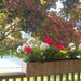 Crimson maple and geraniums