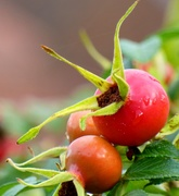 16th Oct 2020 - Rose Hips