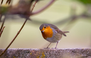 16th Oct 2020 - Robin in Residence?