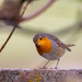 Robin in Residence? by lifeat60degrees