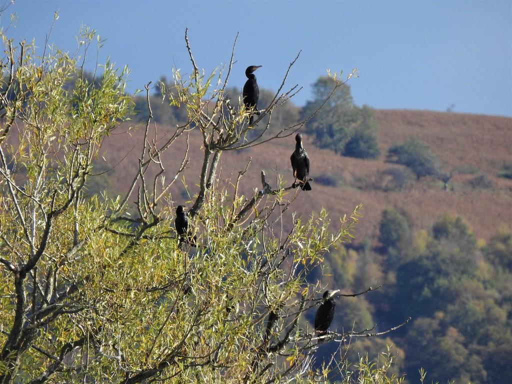 Cormorants at Llangorse  by susiemc