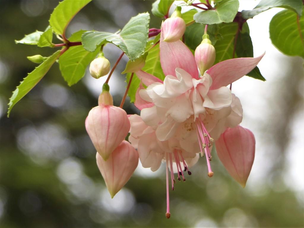 Fuchsia  by susiemc