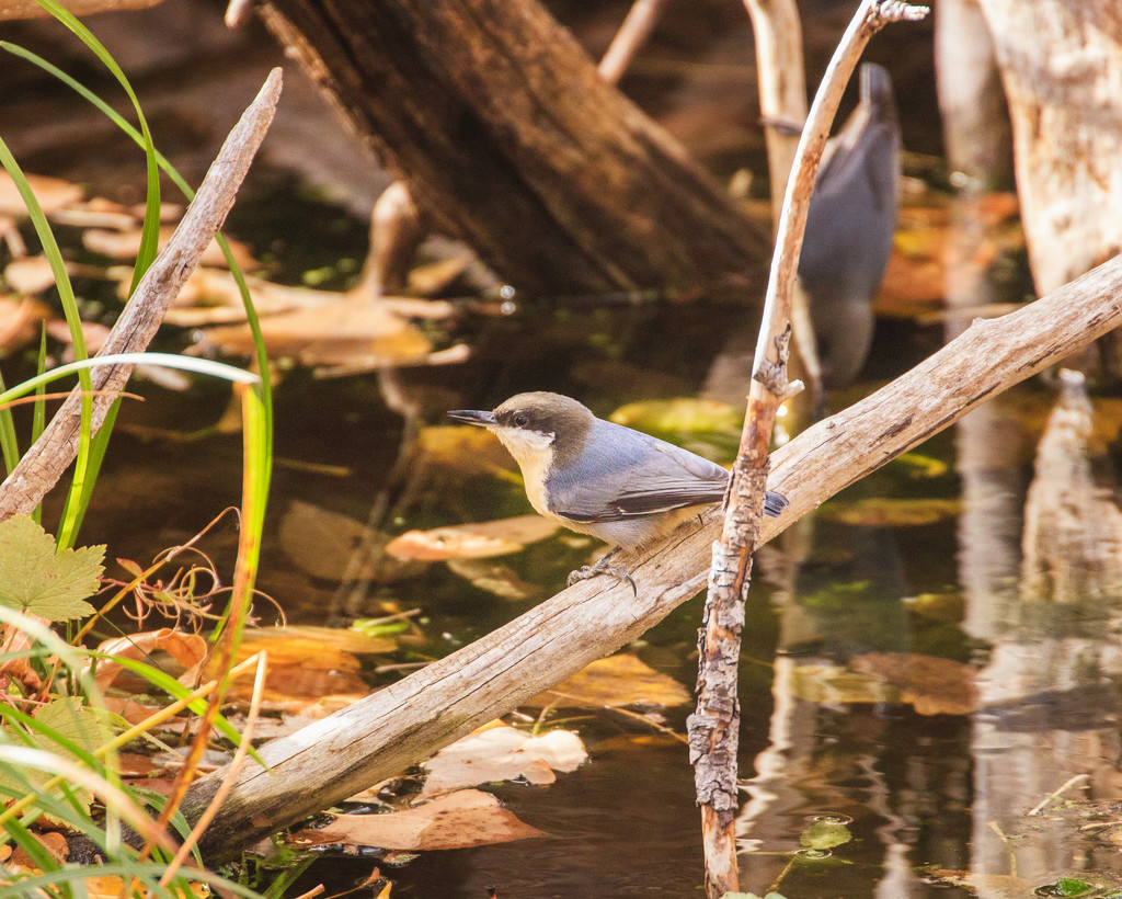 pygmy nuthatch by aecasey