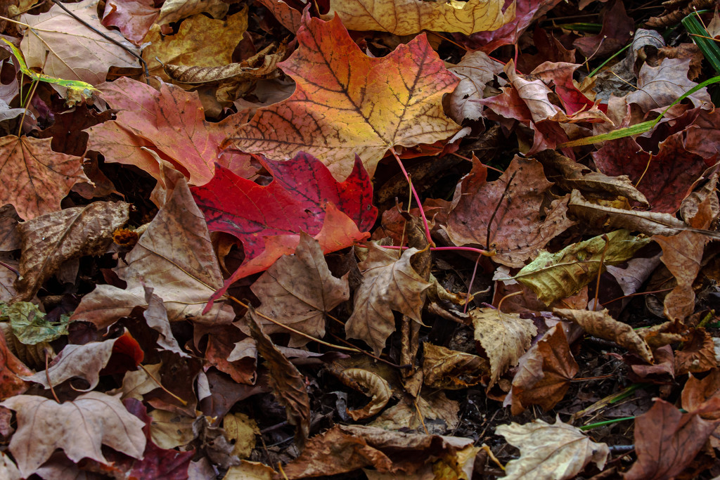 My Annual Shot of Leaves by farmreporter