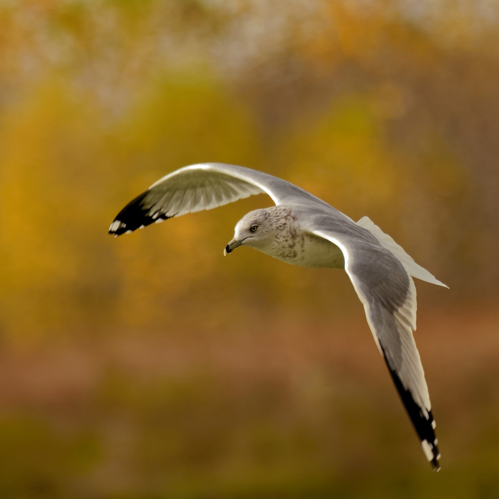 ringed-billed gull  by rminer