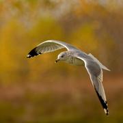 16th Oct 2020 - ringed-billed gull