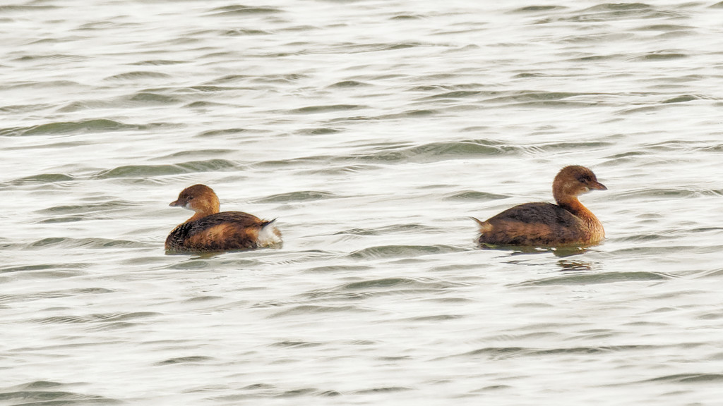 pied-billed grebes drift apart by rminer