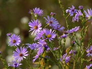 16th Oct 2020 - smooth blue asters