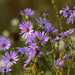 smooth blue asters