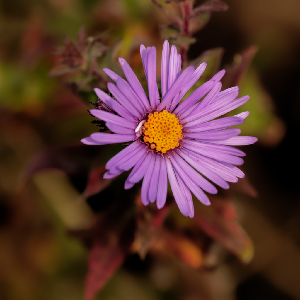 New England aster by rminer