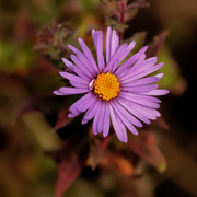 16th Oct 2020 - New England aster