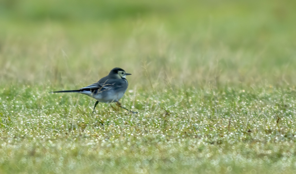 pied wagtail  by shepherdmanswife