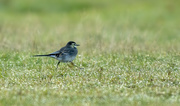 16th Oct 2020 - pied wagtail