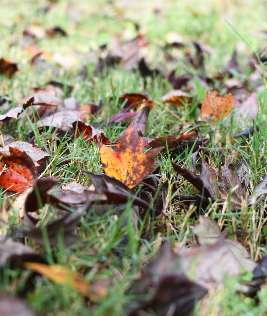 Autumnal flashes of red and yellow by homeschoolmom