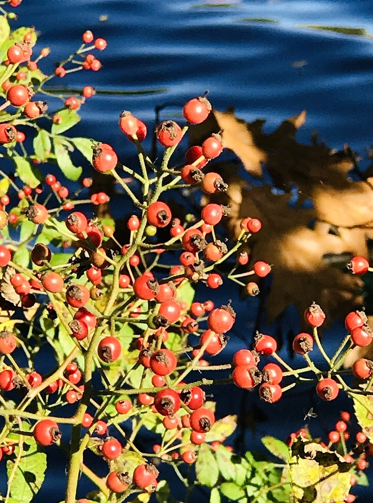 Berries in autumn by mjmaven