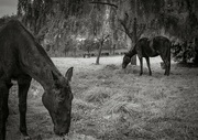 16th Oct 2020 - Horses
