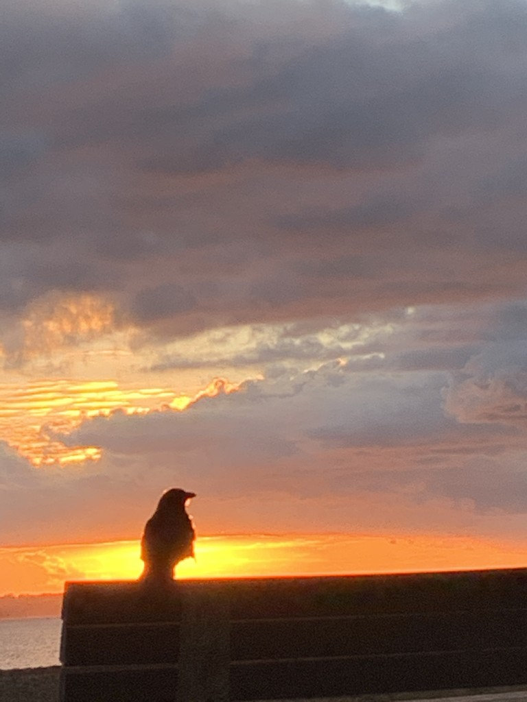 Rook (or possibly a crow) at sunset by bill_gk