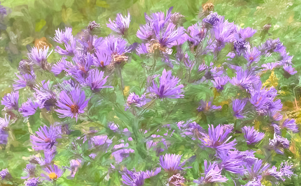 Smooth Aster   by sprphotos