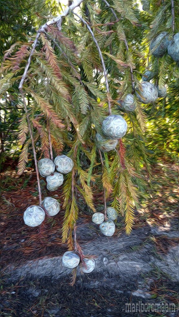 Painted cypress balls... by marlboromaam