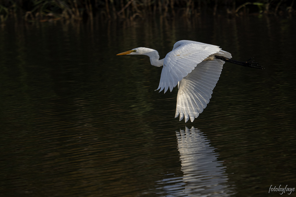 Egret in flight by fayefaye