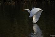 16th Oct 2020 - Egret in flight