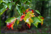 16th Oct 2020 - Wet October Leaves