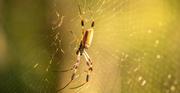 16th Oct 2020 - Orb Weaver Spider!