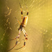 Orb Weaver Spider!