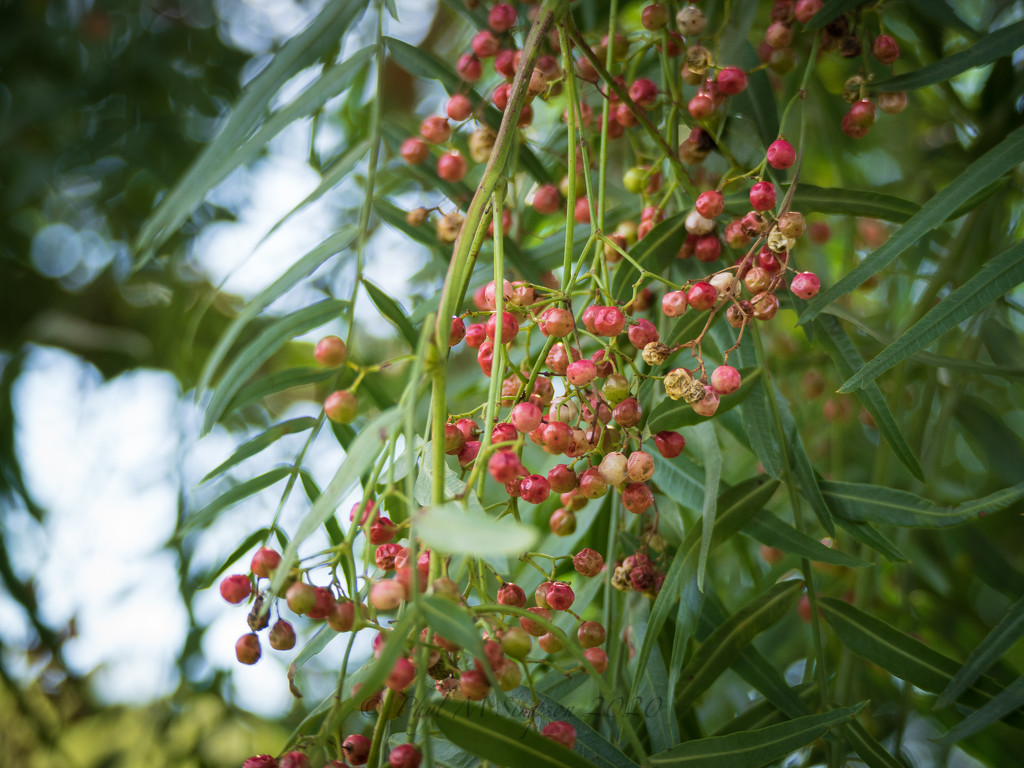 Pink Peppercorn Tree by elatedpixie