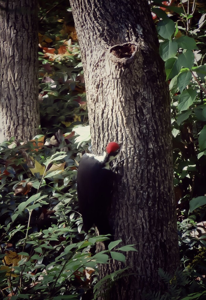 Pileated Woodpecker  by mzzhope