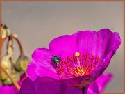 17th Oct 2020 - A Bluebottle full of pollen