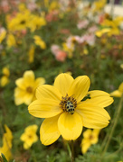 16th Oct 2020 - Spotted cucumber beetle