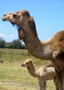 17th Oct 2020 - MUMMA Camel with her newborn Baby