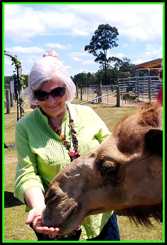Feeding time at the Camel farm by 777margo
