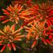 Aloe succulent flower