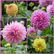 17th Oct 2020 - Last of the Dahlias