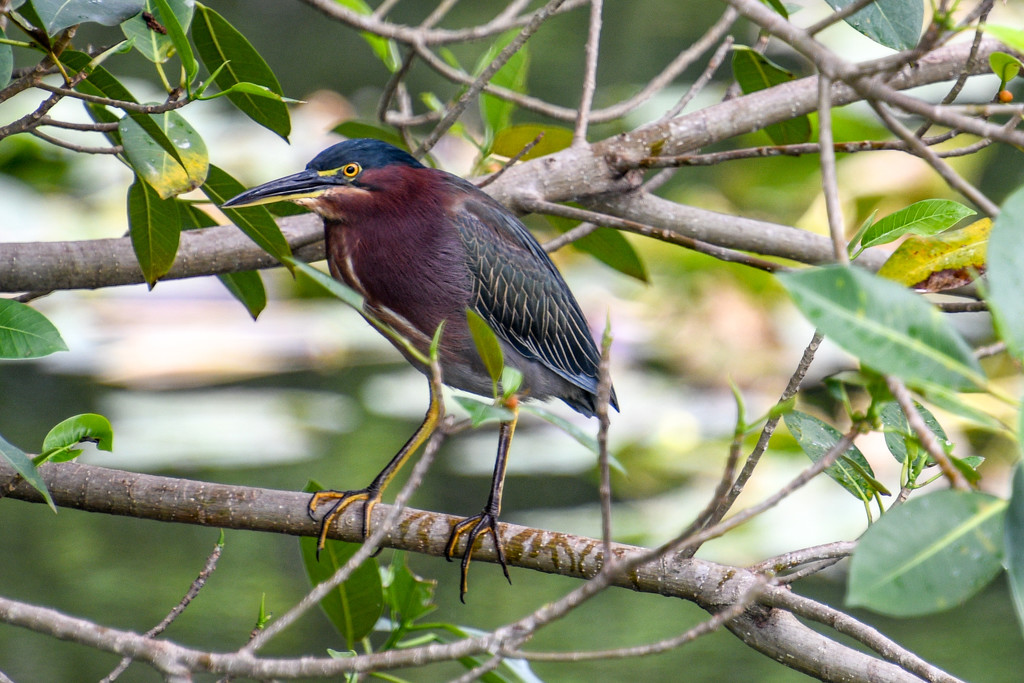 Green Heron by danette