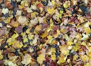13th Oct 2020 - Autumn leaves