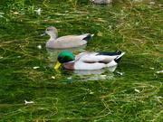 17th Oct 2020 - Green Lake Ducks