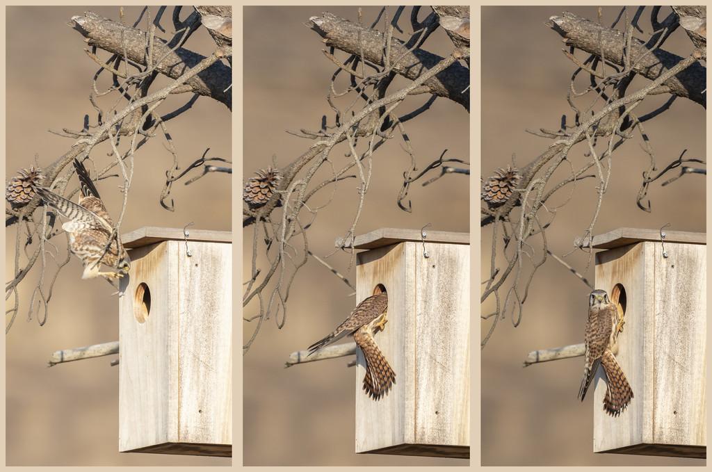 American Kestrel Home by mikegifford