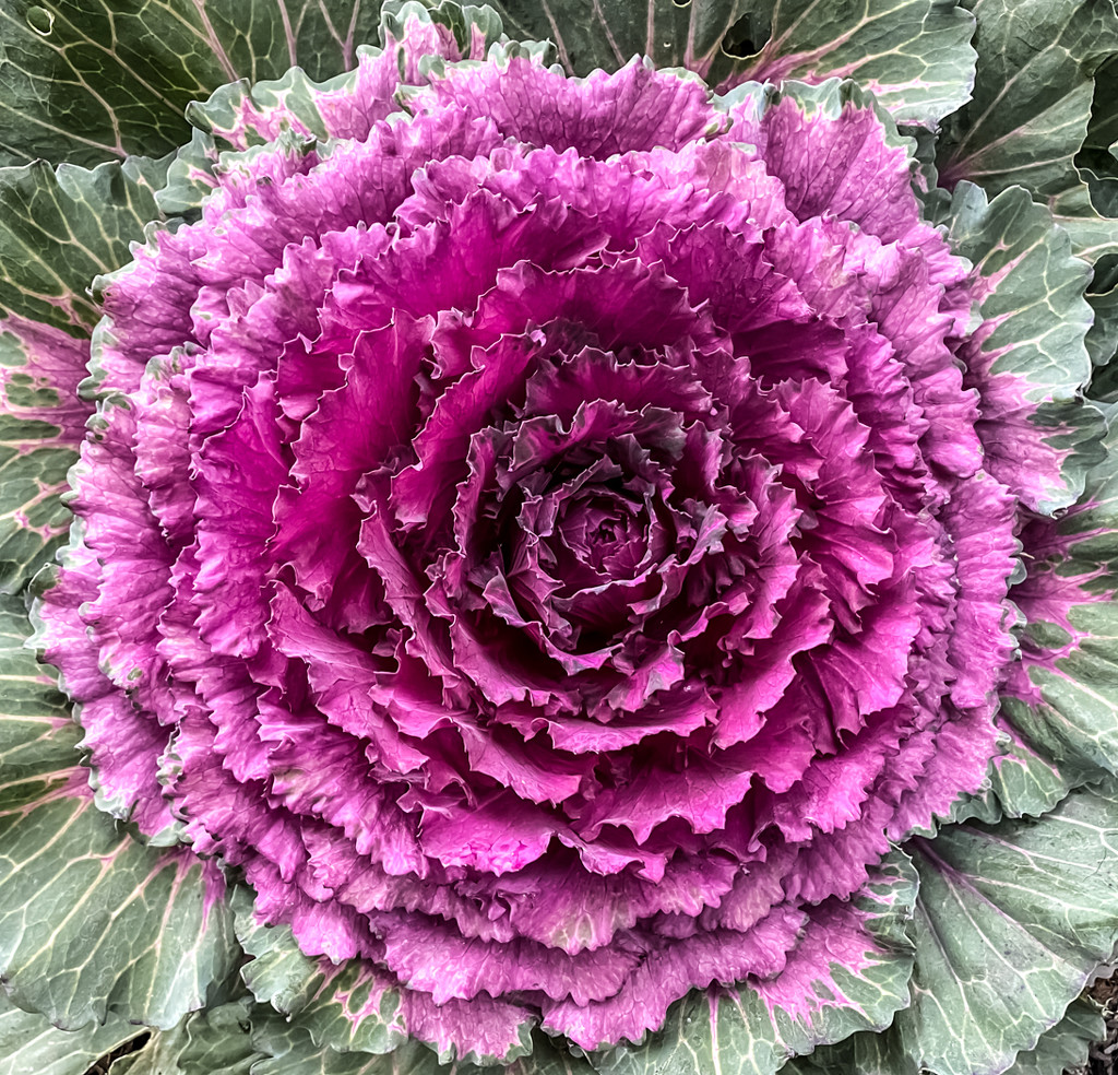 Ornamental Cabbage by sprphotos