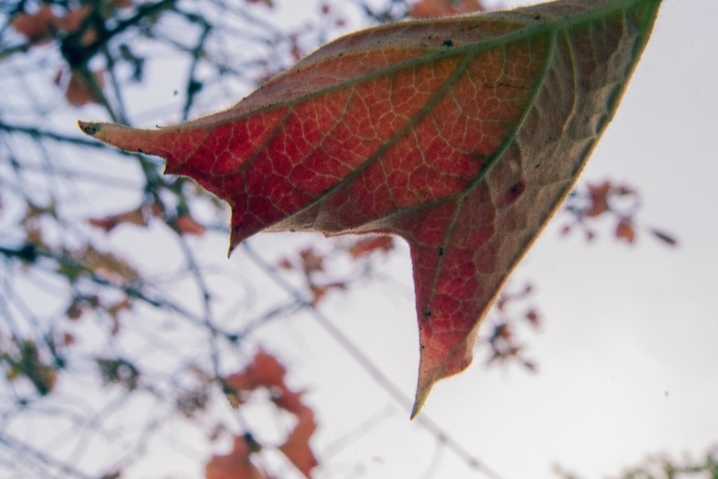Before Falling (leaf) by granagringa