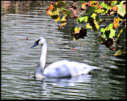 10th Oct 2020 - A Swan Song