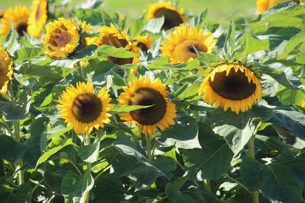 Sunflowers by jb030958