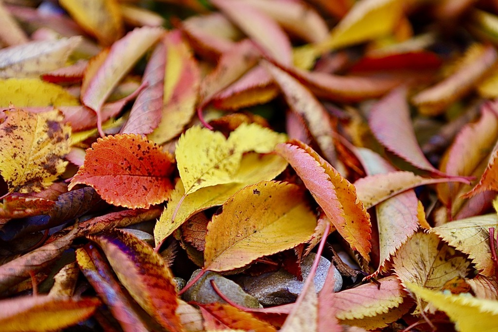 Autumn's colourful carpet  by carole_sandford