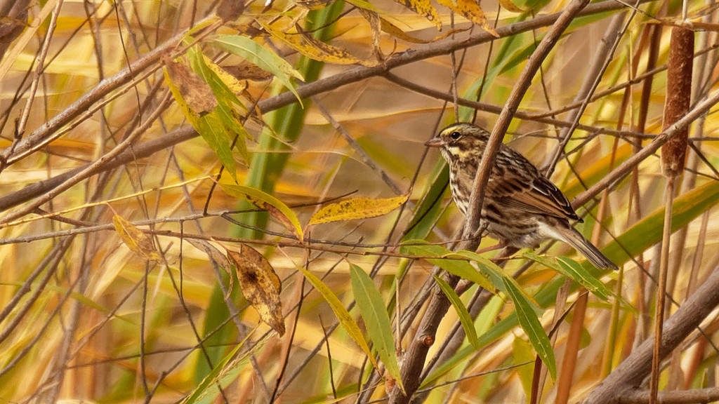 Savannah sparrow in the fall by rminer