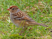 17th Oct 2020 - White-crowned sparrow