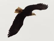 17th Oct 2020 - Bald eagle