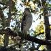 Hawk by sailingmusic