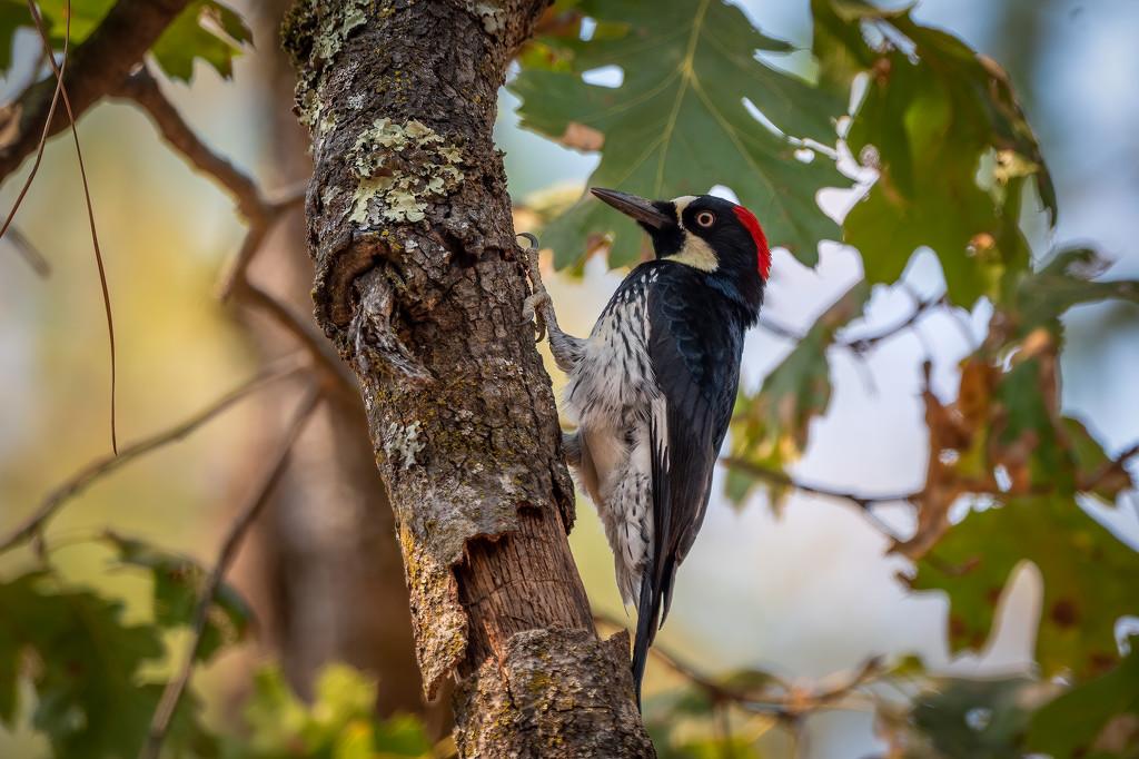 Acorn Woodpecker by nicoleweg